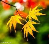 Acer Palmatum leaves, Harcourt arboretum