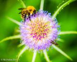Bee on Flowering Teasel