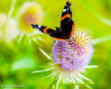 Red Admiral butterfly on flowering Teasel