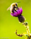 Bee on flowering thistle