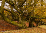 Old Beech trees on martinsell hill