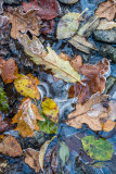 Frozen leaf litter in puddle