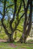 Three Beach trees, Woodheads Strip