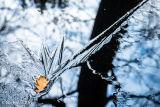 Oak leaf captured in ice