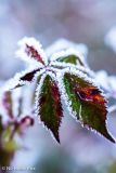 Frosted Bramble leaves