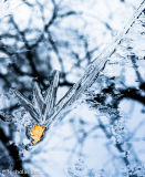 Oak leaf captured in ice with tree reflections