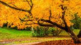 Acer Palmatum Stourhead