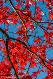 Acer Palmatum leaves, Stourhead