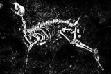Roe Deer Skeleton