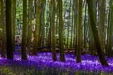 Bluebells in Wytham Woods