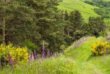 Yellow Broom and Foxgloves