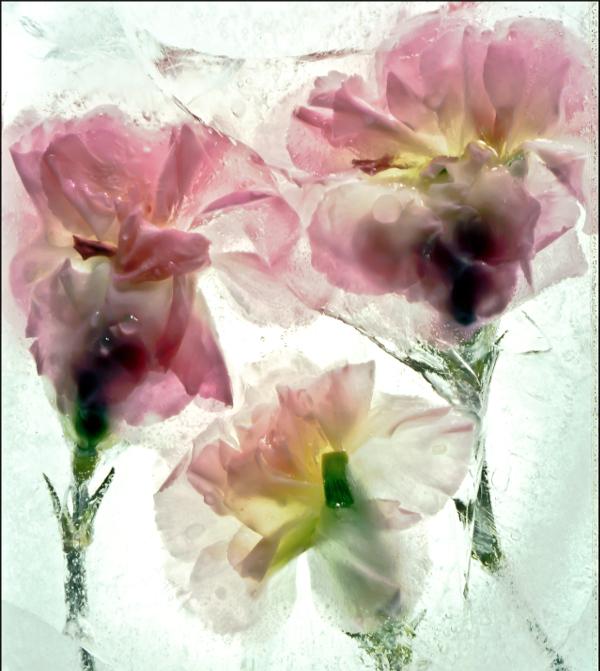 Ice Carnations
