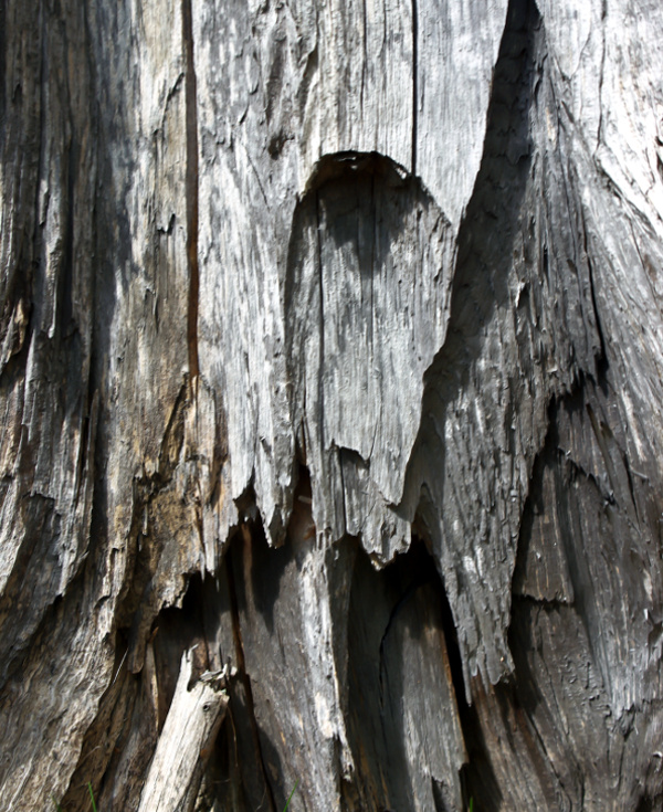 Dry standing  old stump of tree