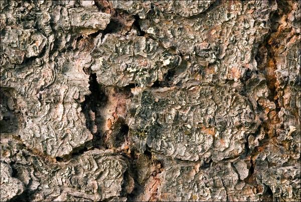 Picea abies, Spruce, kuusi