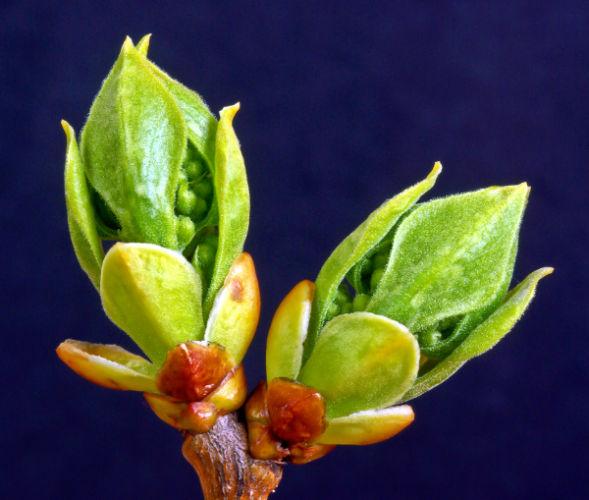 Syringa vulgaris flower buds