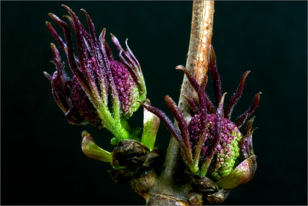 Sambucus racemosa (terttuselja)
