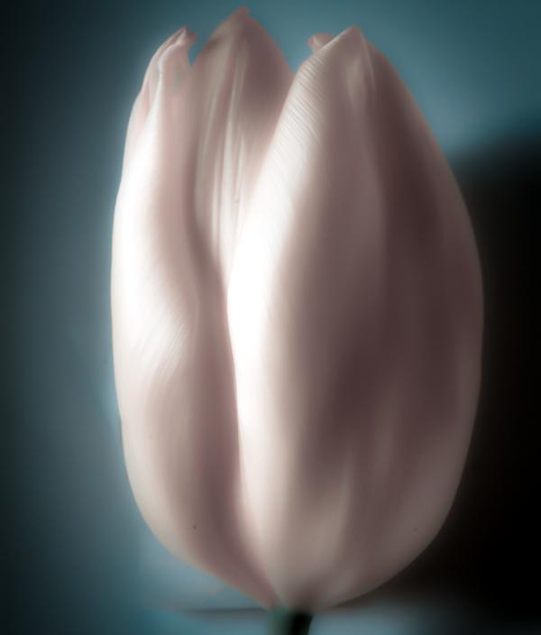 Tulip #23