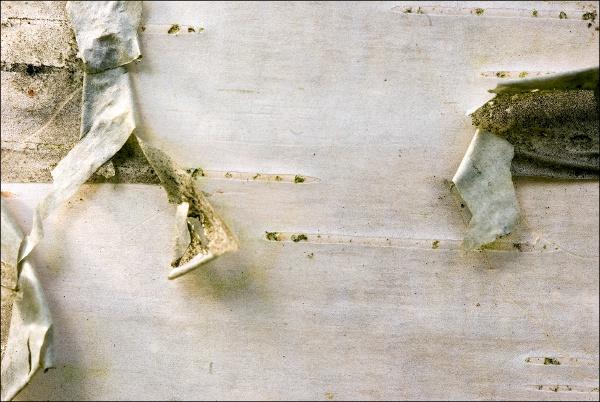 Betula papyrifera, Paper Birch, paperikoivu