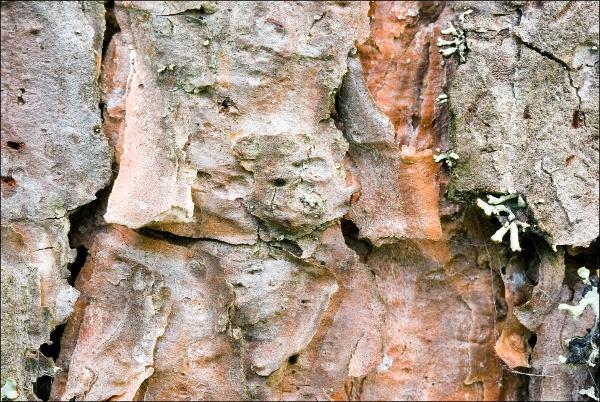 Pinus sylvestris, Pine, mänty