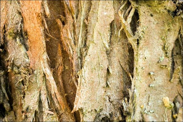 Thuja occidentalis, Northern Whitecedar, tuija