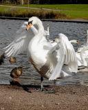 mute swan pose