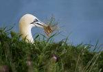 Gannet with Grass