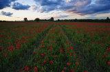 Redrick's Lane Poppy Field