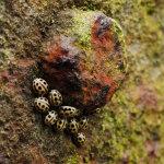 Fourteen-Spotted Ladybirds