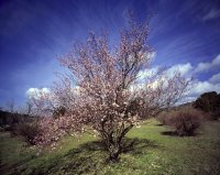 Cherry Tree-La Mas-France