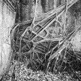 Tree Roots, Cambodia