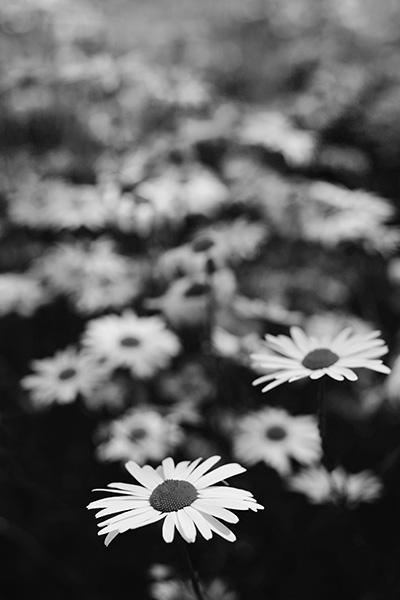 Daisy - Daisy