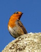 Robin on a stone