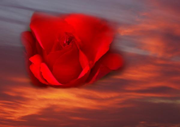 firey rose