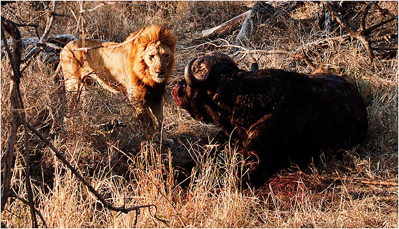 Confrontation Lion and Buffalo