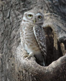 Spotted Owlet.