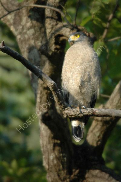 Crested Serpent Eagle.