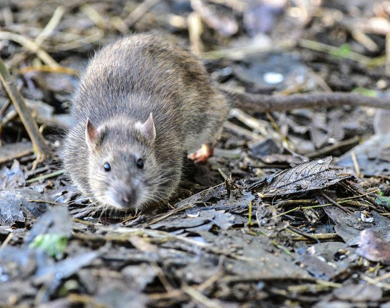 Browm Rat