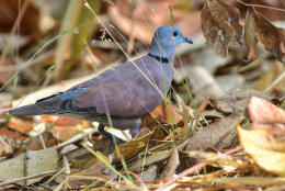 Red Turtle Dove