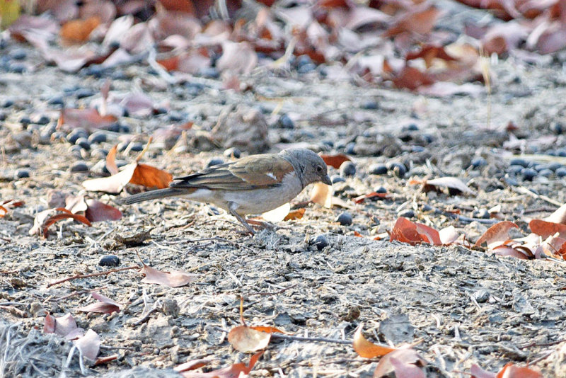 Southern Greyheaded Sparrow