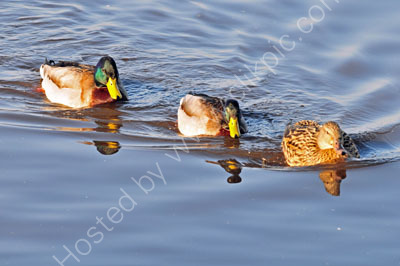 Mallard - males and female.