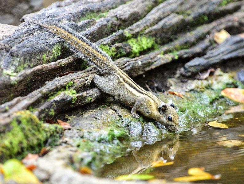 Burmese Stripped Squirrel