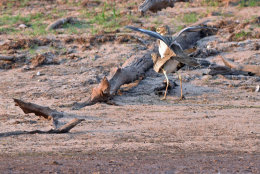 Water Kikkop mating