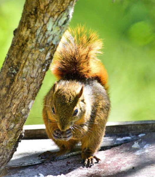 Montane Squirrel
