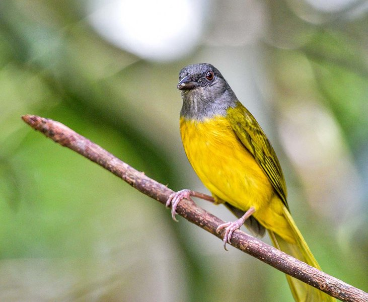 Grey-headed Tanagier