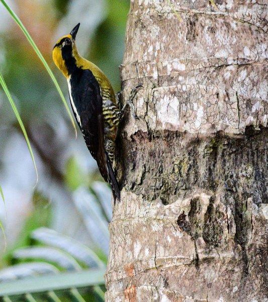 Golden-napped Woodpecker
