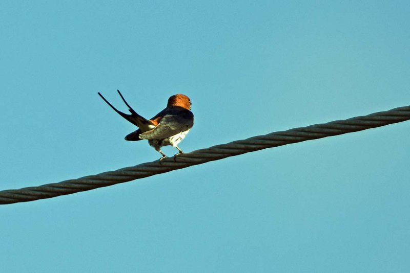 Lesser Stripped Swallow
