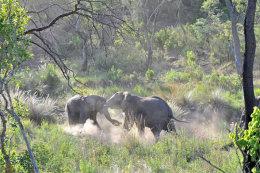 African Elephants play fighting