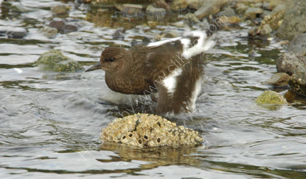 A Black Turnstone feeding in shallow water.