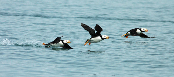 Three Horned Puffins taking off.