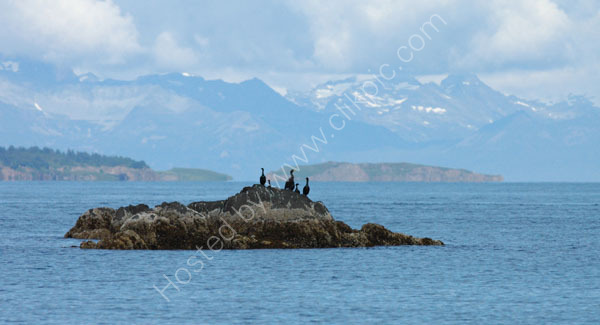 Pelagic Cormorants looking out to sea.